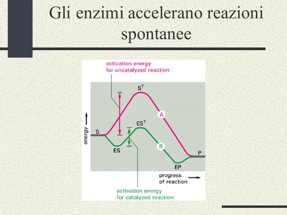 Gli enzimi accelerano reazioni spontanee