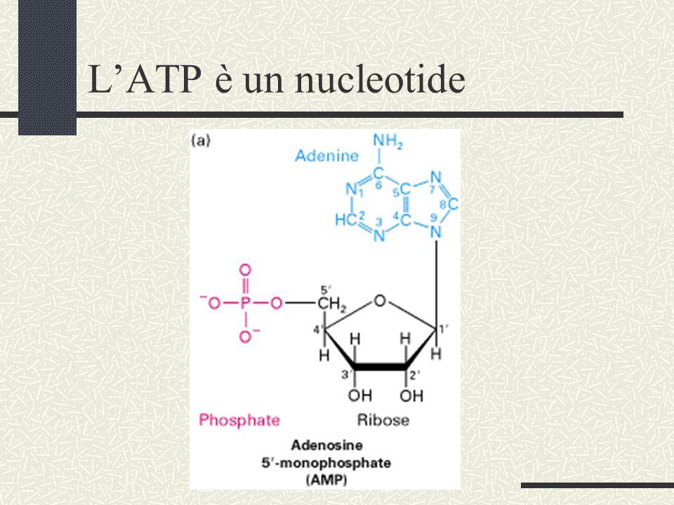 L'ATP è un nucleotide
