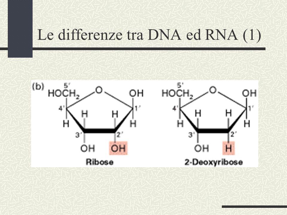 Le differenze tra DNA ed RNA (1)