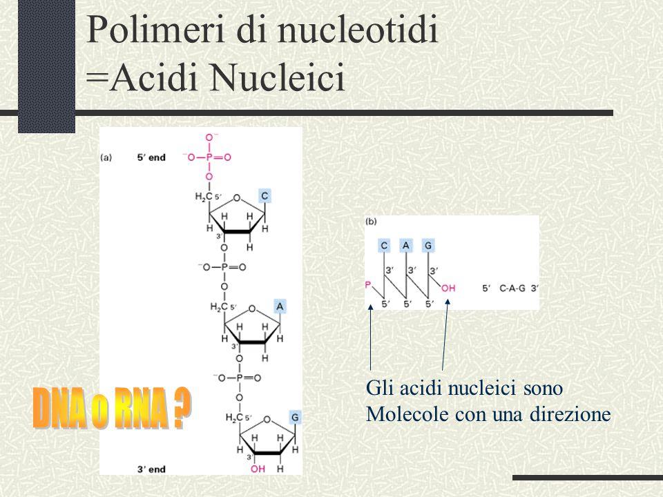 Polimeri di nucleotidi =Acidi Nucleici Gli acidi nucleici sono Molecole con una direzione