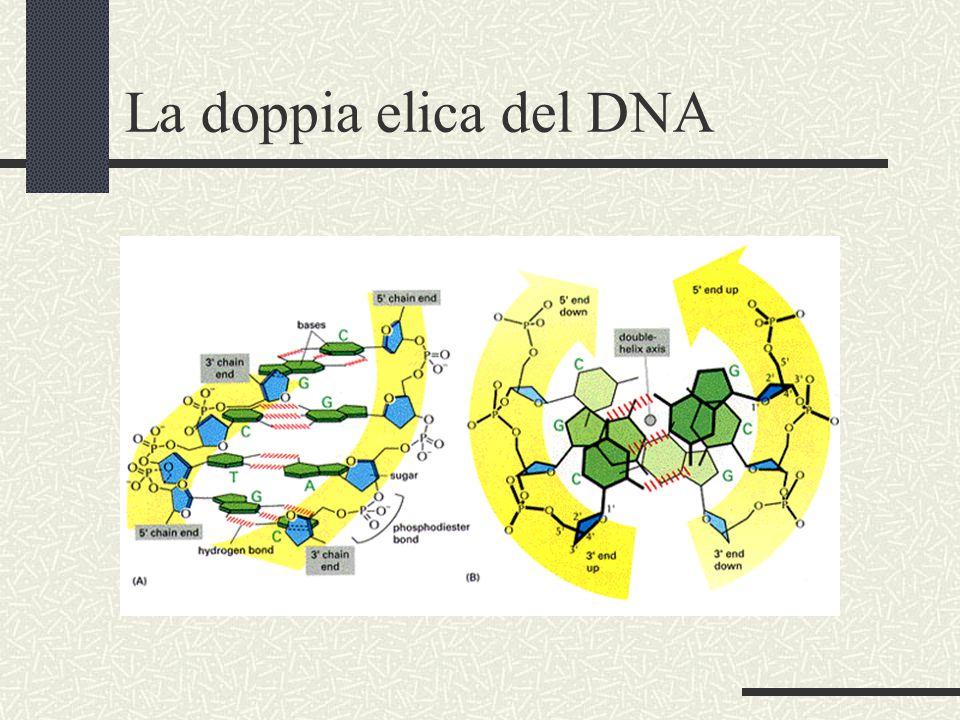 La doppia elica del DNA