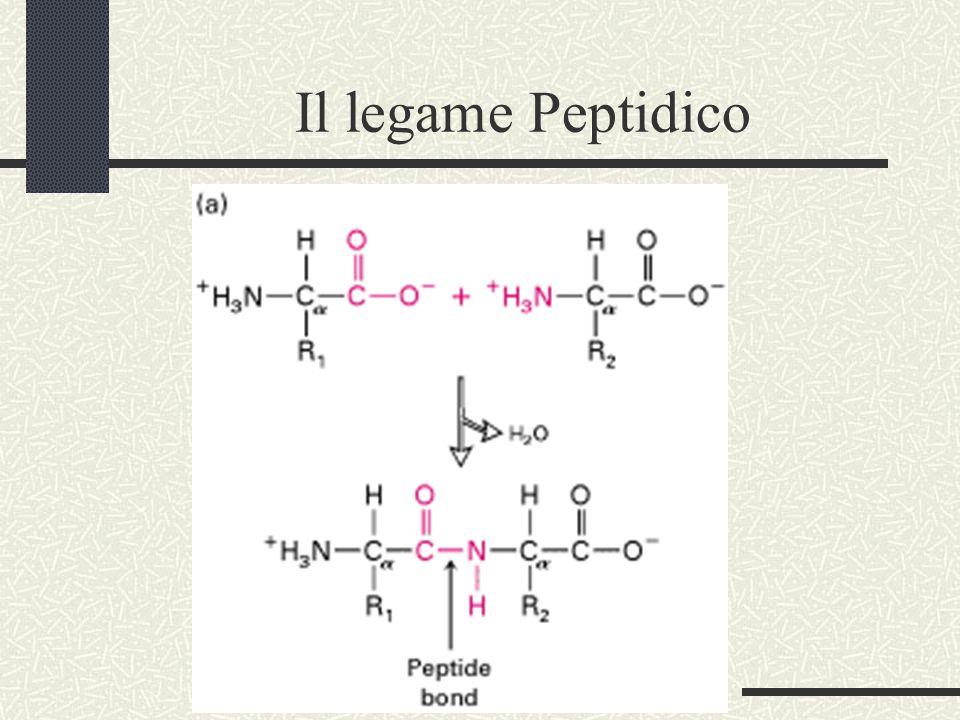 Polimeri di Aminoacidi=Proteine
