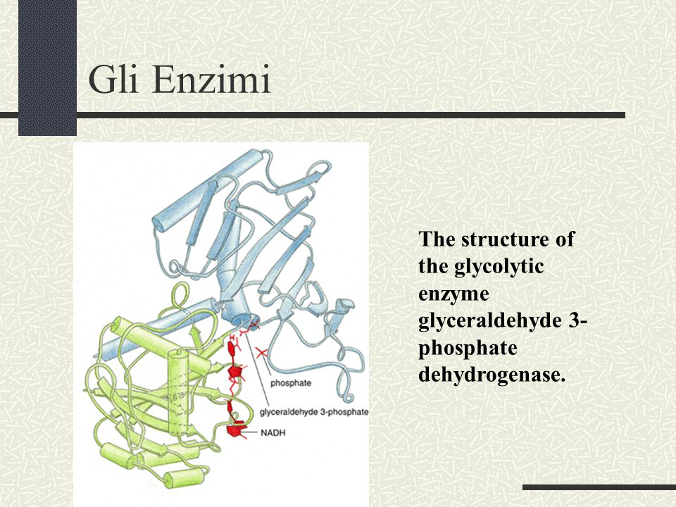 Gli Enzimi The structure of the glycolytic enzyme glyceraldehyde 3- phosphate dehydrogenase.