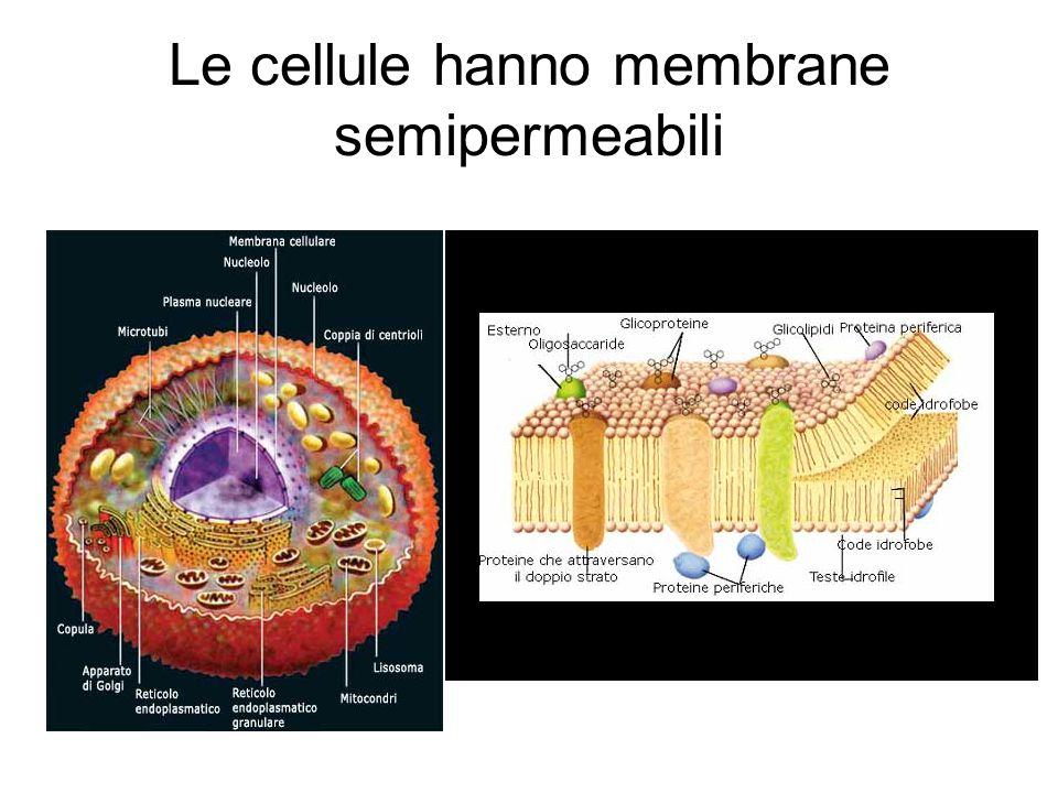 Osmosi Le cellule vive sono protette da membrane semipermeabili (esternamente le cellule vegetali hanno anche una parete cellulare di cellulosa), che permettono il passaggio di piccole molecole, come l'acqua, dentro e fuori dalle cellule, ma impediscono a sostanze più voluminose, come gli zuccheri o gli ioni, di entrare o uscire a loro piacimento (se serve farli entrare o uscire ci sono meccanismi specifici).