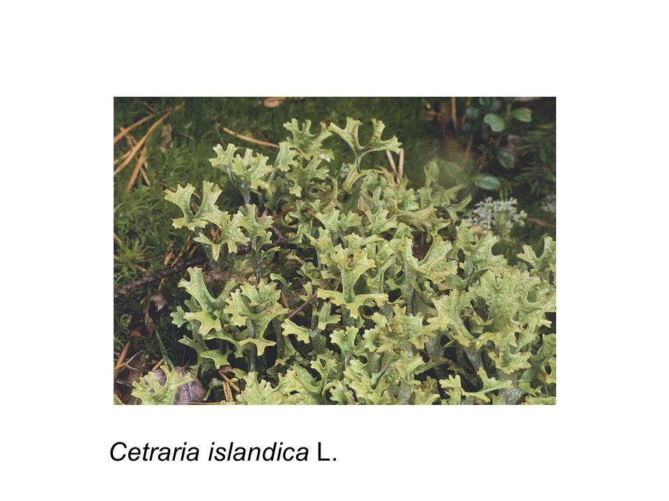 Cetraria islandica L.