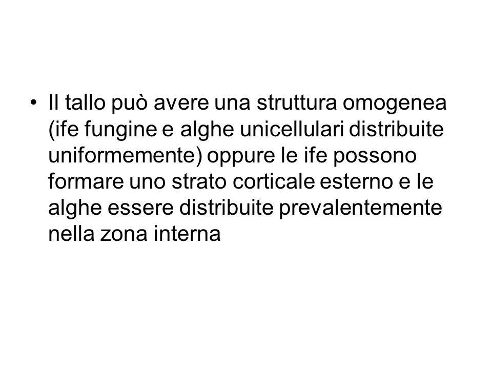 Il tallo può avere una struttura omogenea (ife fungine e alghe unicellulari distribuite uniformemente) oppure le ife possono formare uno strato cortic