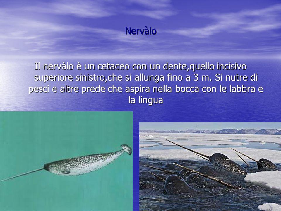 foca leopardo La Foca Leopardo è più grossa all'altezza delle spalle e nuota con le pinne anteriori che sono provviste di unghioni.