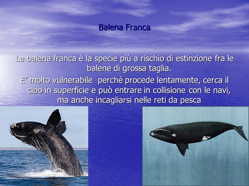 Beluga Il beluga,mammifero cetaceo di colore bianco, è chiamato anche balena bianca .