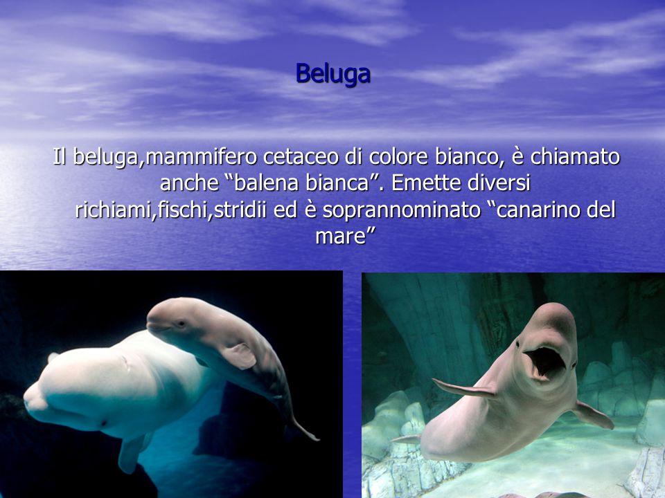 Orca L'orca,mammifero cetaceo è facilmente riconoscibile per il colore bianco e nero del corpo.