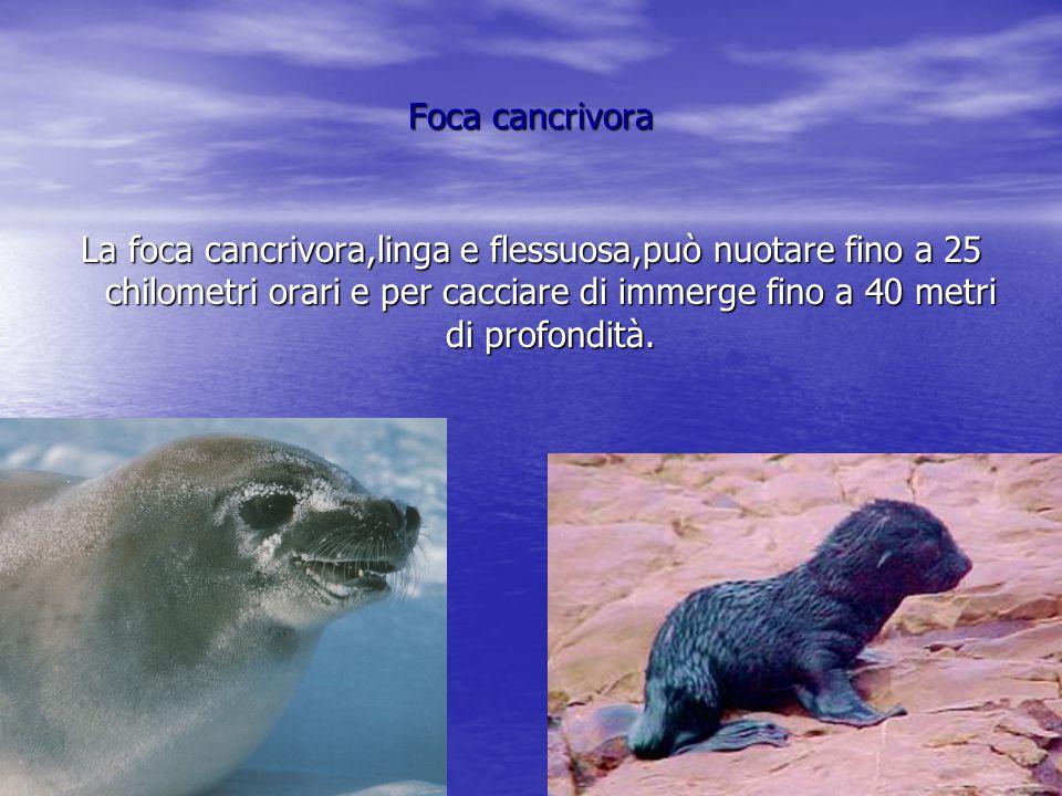 Tricheco Il tricheco,mammifero pinnipede ha un corpo massiccio e i canini superiori sporgenti.