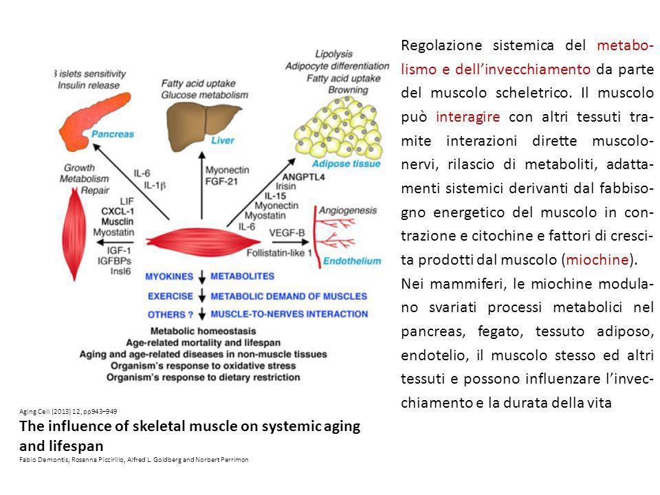 Regolazione sistemica del metabo- lismo e dell'invecchiamento da parte del muscolo scheletrico.