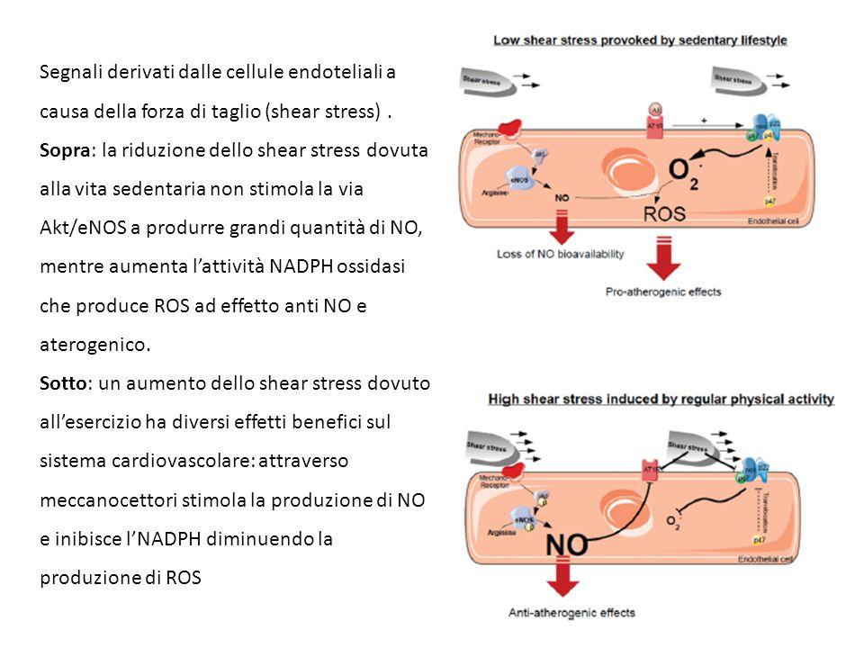 Segnali derivati dalle cellule endoteliali a causa della forza di taglio (shear stress). Sopra: la riduzione dello shear stress dovuta alla vita seden