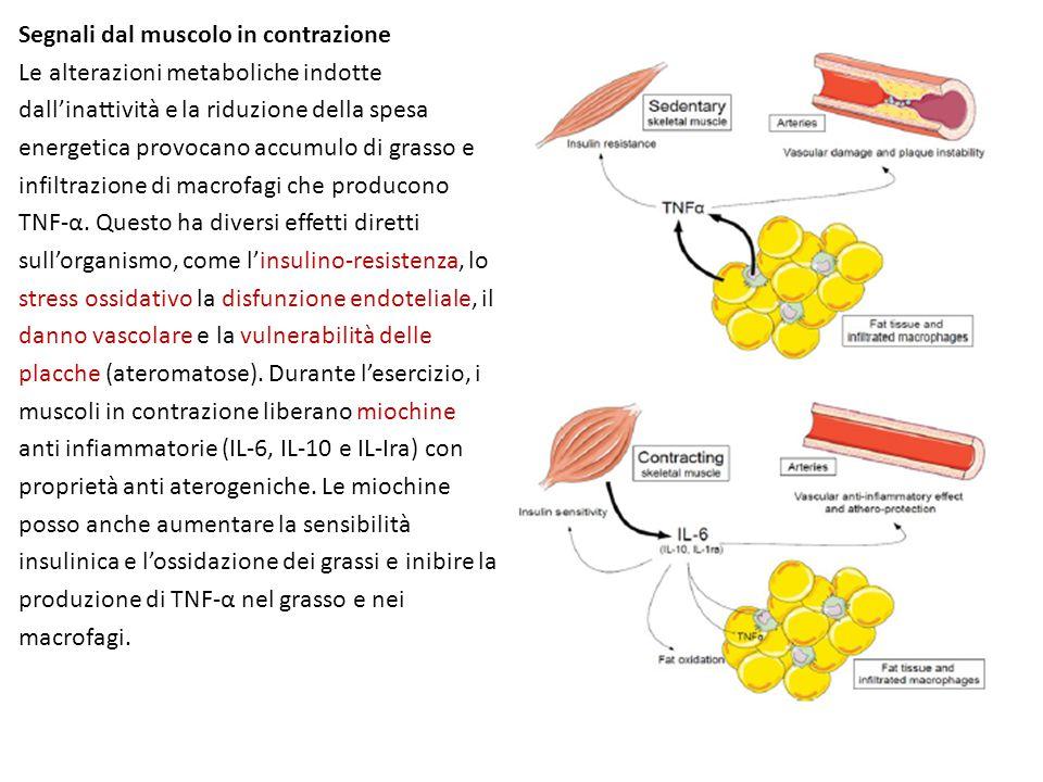 Segnali dal muscolo in contrazione Le alterazioni metaboliche indotte dall'inattività e la riduzione della spesa energetica provocano accumulo di grasso e infiltrazione di macrofagi che producono TNF-α.