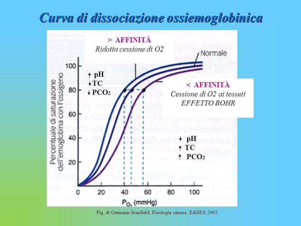 Curva di dissociazione ossiemoglobinica Fig. di Germann-Stanfield, Fisiologia umana, EdiSES, 2003 pH TC PCO 2 pH TC PCO 2 < AFFINITÀ Cessione di O2 ai