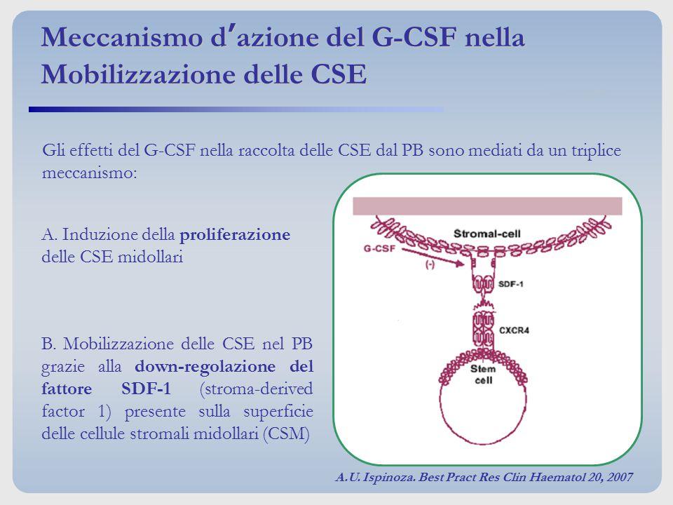Gli effetti del G-CSF nella raccolta delle CSE dal PB sono mediati da un triplice meccanismo: A. Induzione della proliferazione delle CSE midollari B.