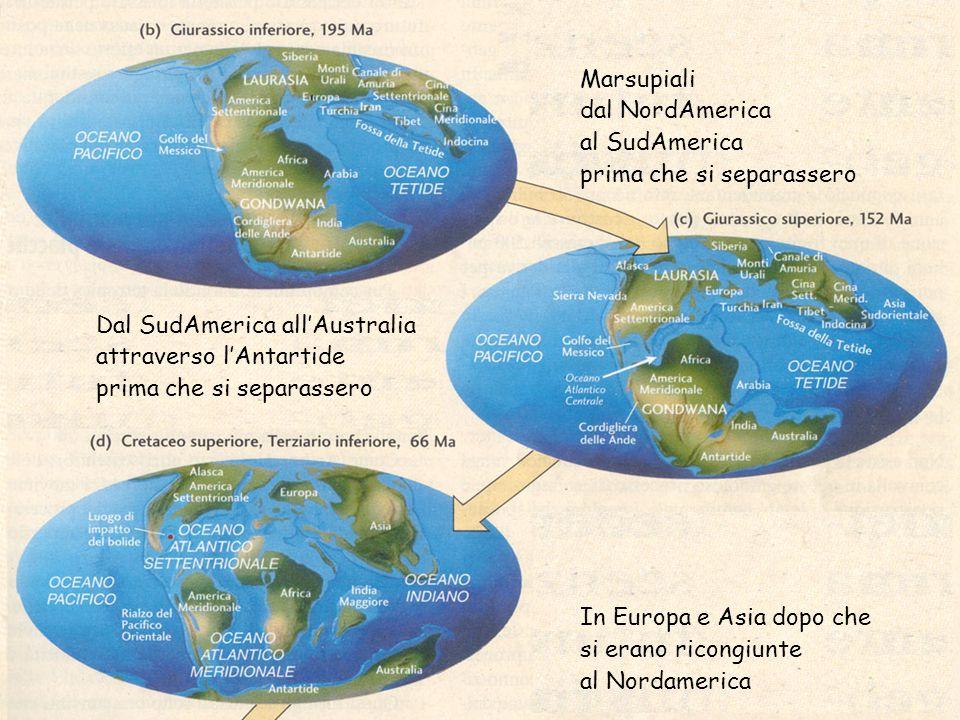 Marsupiali dal NordAmerica al SudAmerica prima che si separassero In Europa e Asia dopo che si erano ricongiunte al Nordamerica Dal SudAmerica all'Australia attraverso l'Antartide prima che si separassero