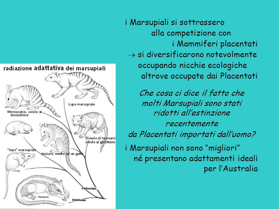 i Marsupiali si sottrassero alla competizione con i Mammiferi placentati  si diversificarono notevolmente occupando nicchie ecologiche altrove occupate dai Placentati Che cosa ci dice il fatto che molti Marsupiali sono stati ridotti all'estinzione recentemente da Placentati importati dall'uomo.
