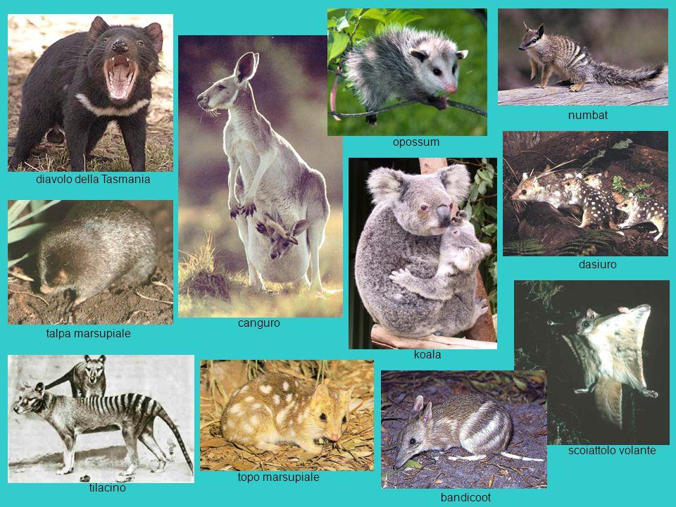canguro koala opossum talpa marsupiale topo marsupiale diavolo della Tasmania bandicoot dasiuro numbat tilacino scoiattolo volante