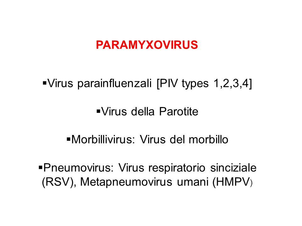  Virus parainfluenzali [PIV types 1,2,3,4]  Virus della Parotite  Morbillivirus: Virus del morbillo  Pneumovirus: Virus respiratorio sinciziale (R