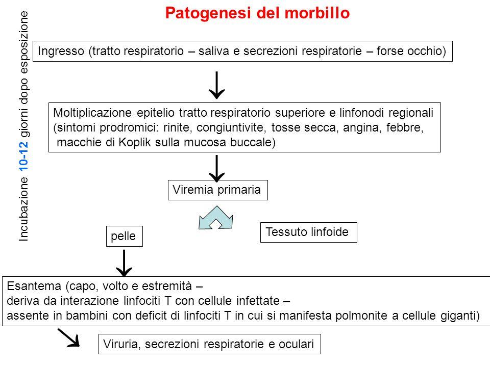Ingresso (tratto respiratorio – saliva e secrezioni respiratorie – forse occhio) Moltiplicazione epitelio tratto respiratorio superiore e linfonodi re
