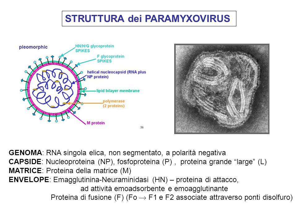 STRUTTURA dei PARAMYXOVIRUS GENOMA: RNA singola elica, non segmentato, a polarità negativa CAPSIDE: Nucleoproteina (NP), fosfoproteina (P), proteina g