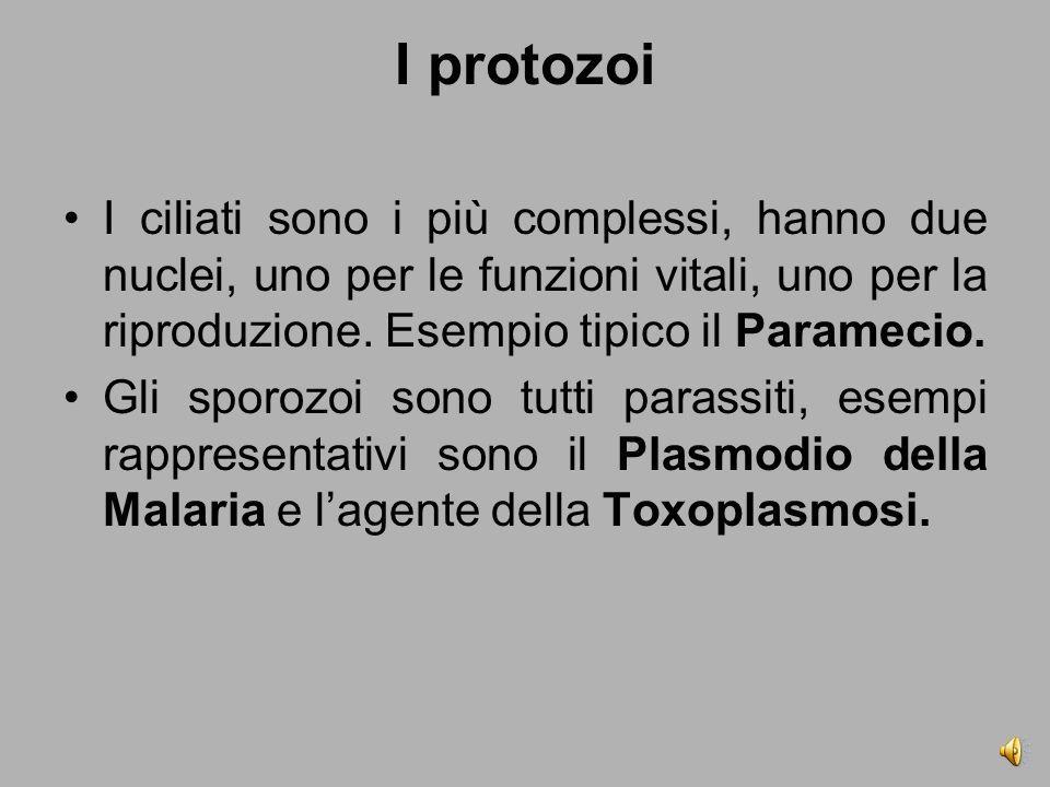 I protozoi I ciliati sono i più complessi, hanno due nuclei, uno per le funzioni vitali, uno per la riproduzione.