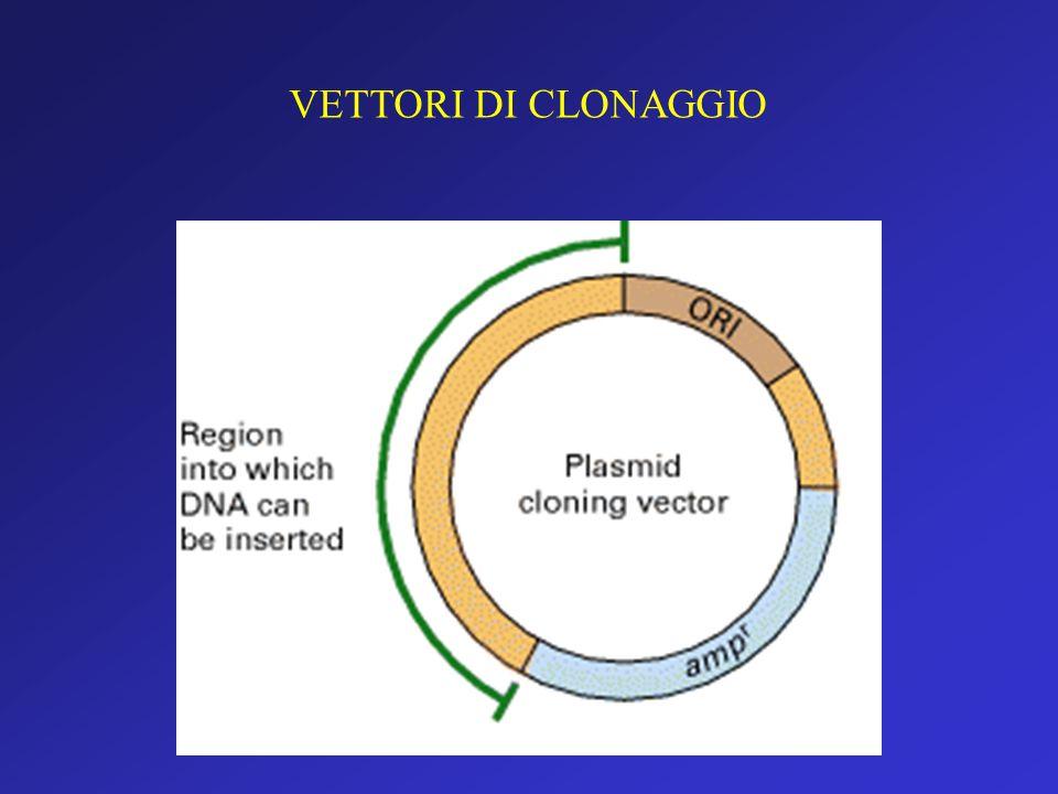 Vettori e clonaggio Plasmide Molecola circolare di DNA a doppio filamento, normalmente presente nella cellula batterica, in grado di replicarsi autono