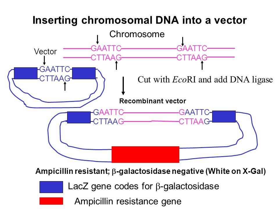 Bromo-chloro-indoyl-  -galactopyranosidase or X-Gal (Clear) Bromo-chloro-indoyl (Deep blue insoluble) + galactose  -galactosidase