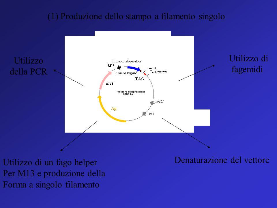 Il metodo Sanger (o metodo a terminazione di catena) 1) Il sequenziamento a terminazione di catena coinvolge la sintesi di nuovi filamenti di DNA, com