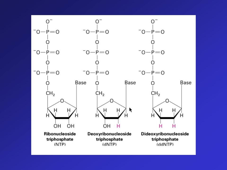 La sintesi del filamento compementare, tuttavia non prosegue indefinitivamente, perché la miscela di reazione contiene, in quattro distinte reazioni p
