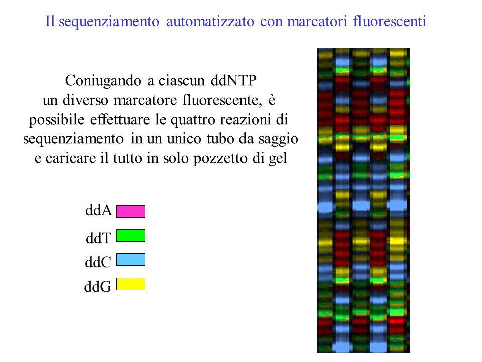 Il sequenziamento a ciclo termico ( PCR asimettrica) Vengono effettuate 4 rezioni di PCR, ognuna contiene un solo primer e uno dei 4 dideossi nucleoti