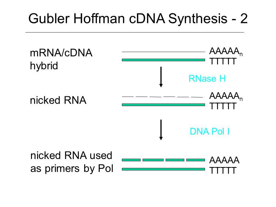 mRNA primed mRNA mRNA/cDNA hybrid AAAAA n TTTTT AAAAA n TTTTT Anneal oligo dT primer Reverse Transcriptase and dNTPs Gubler Hoffman cDNA Synthesis - 1
