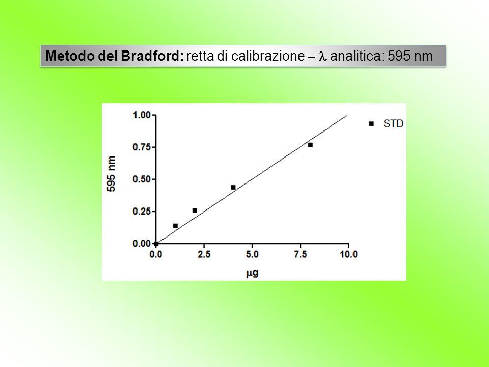Metodo del Bradford: retta di calibrazione – analitica: 595 nm