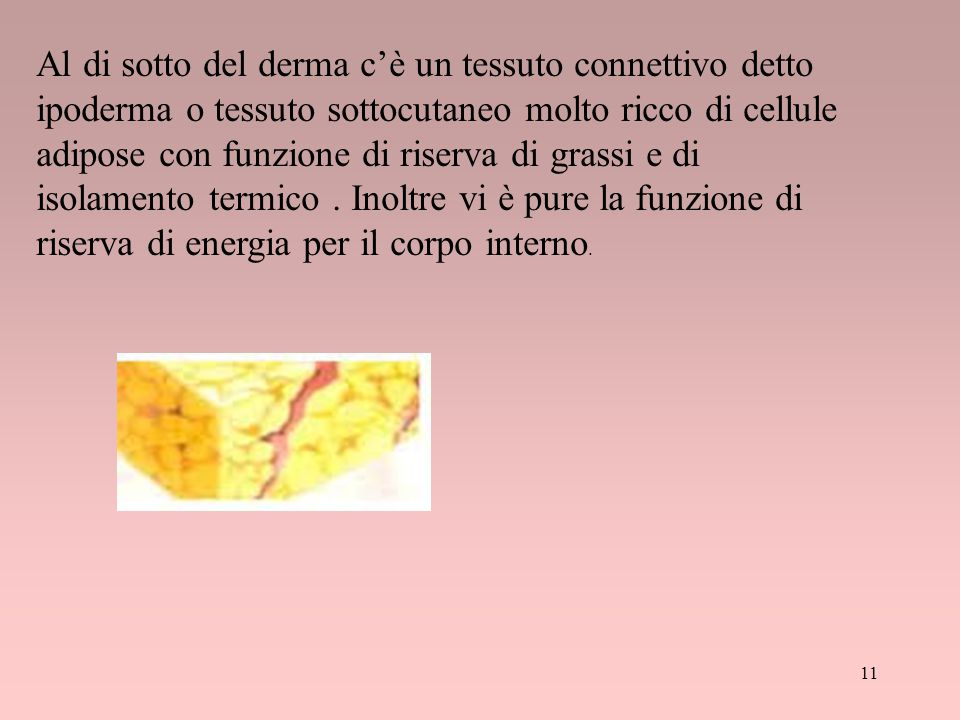 11 Al di sotto del derma c'è un tessuto connettivo detto ipoderma o tessuto sottocutaneo molto ricco di cellule adipose con funzione di riserva di gra