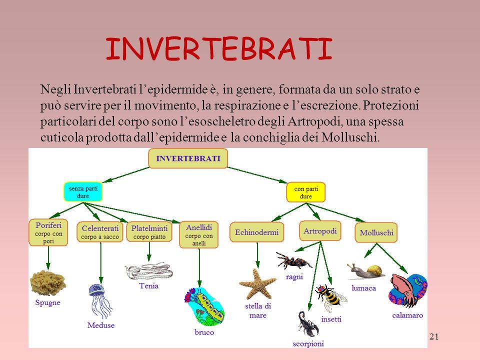 21 Negli Invertebrati l'epidermide è, in genere, formata da un solo strato e può servire per il movimento, la respirazione e l'escrezione. Protezioni