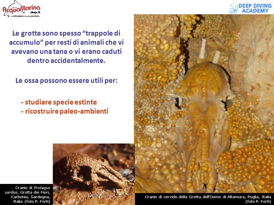 """Le grotte sono spesso """"trappole di accumulo"""" per resti di animali che vi avevano una tana o vi erano caduti dentro accidentalmente. Le ossa possono es"""