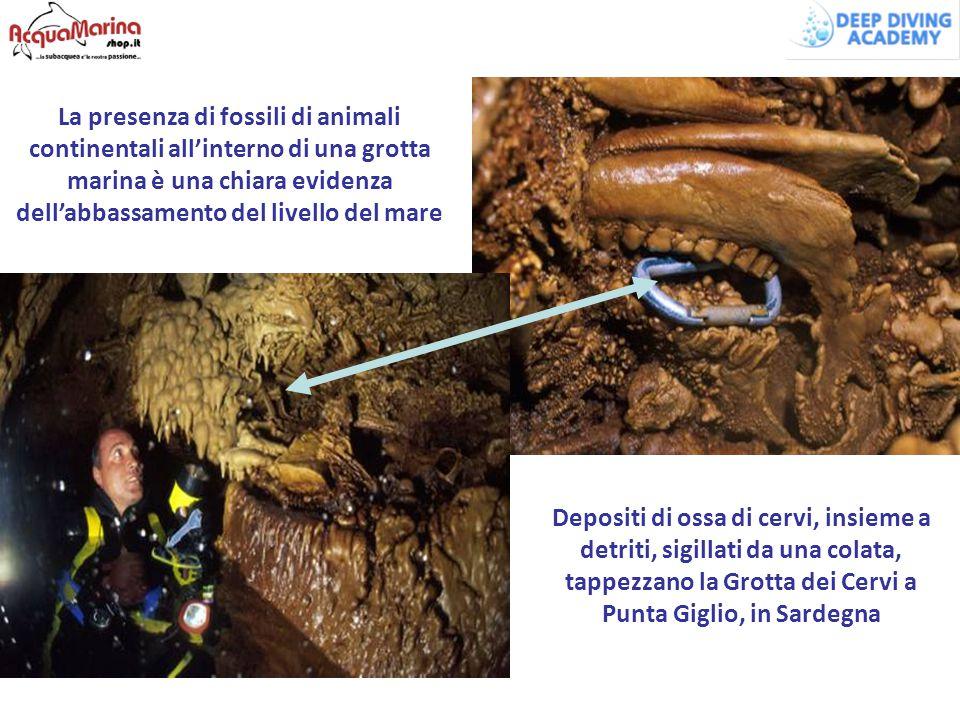 Depositi di ossa di cervi, insieme a detriti, sigillati da una colata, tappezzano la Grotta dei Cervi a Punta Giglio, in Sardegna La presenza di fossi