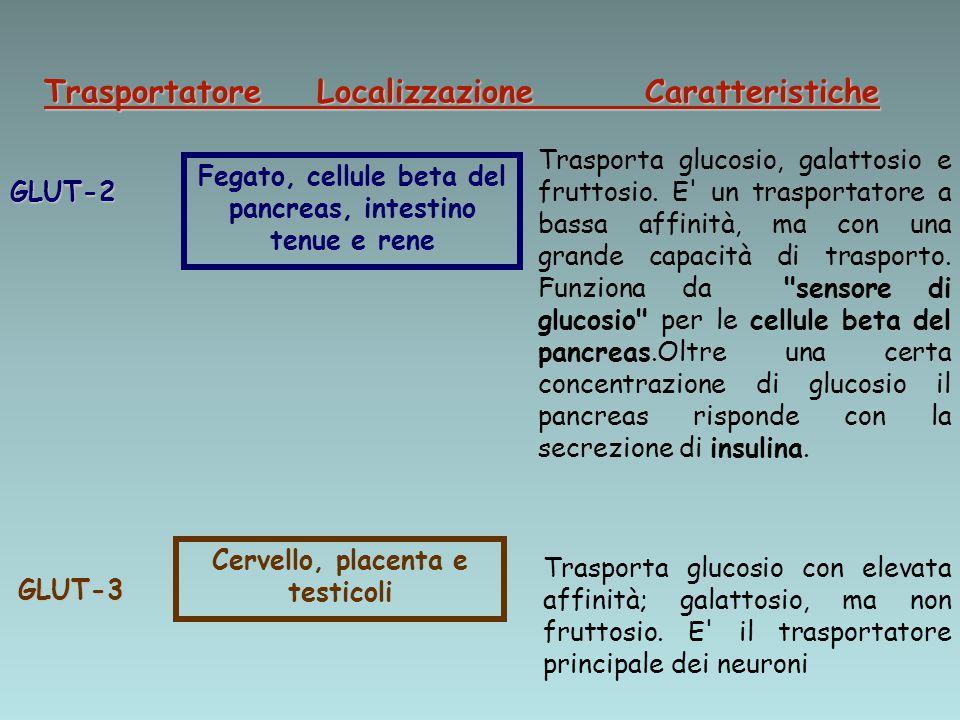 Trasportatore Localizzazione Caratteristiche GLUT-2 Fegato, cellule beta del pancreas, intestino tenue e rene Trasporta glucosio, galattosio e fruttos