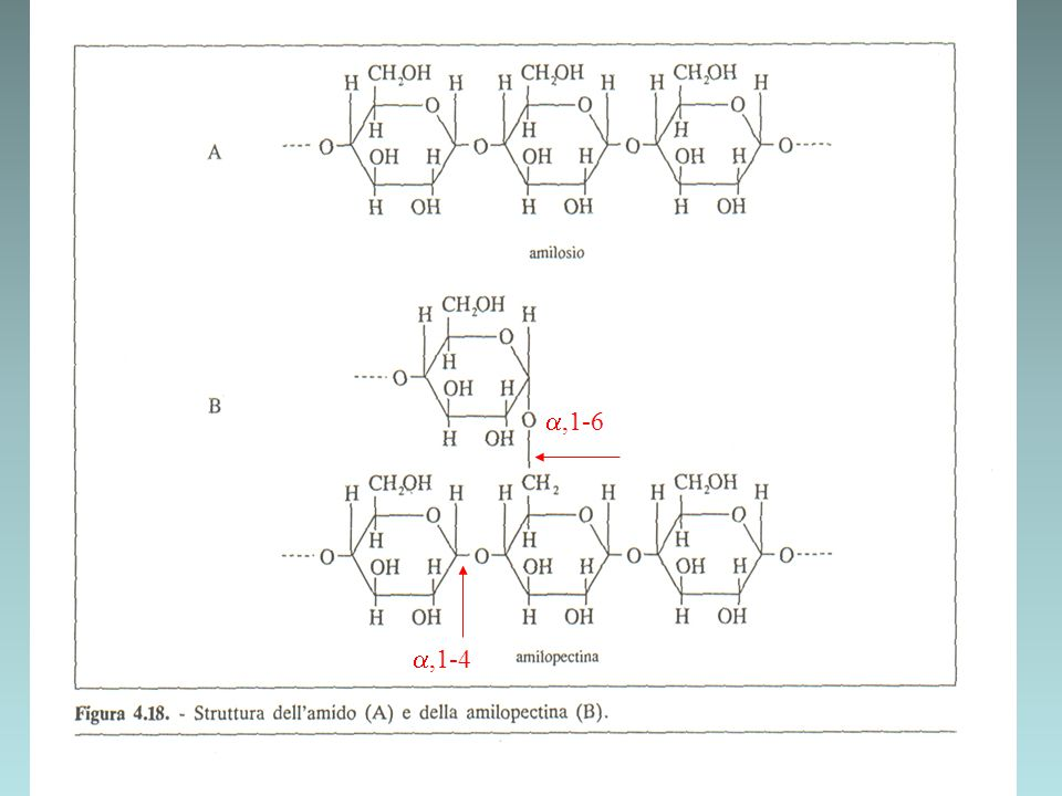 TRASPORTO DEL GLUCOSIO ALL INTERNO DELL ORGANISMO Il glucosio (prodotto dalla digestione dell amido) immesso nel circolo sanguigno, viene trasportato dalla vena porta al fegato, che è in grado di accumularlo sotto forma di glicogeno (polisaccaride di riserva) quindi a tutte le cellule dell organismo, per poter essere ossidato