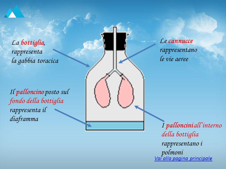 La bottiglia, rappresenta la gabbia toracica Il palloncino posto sul fondo della bottiglia rappresenta il diaframma Le cannucce rappresentano le vie a