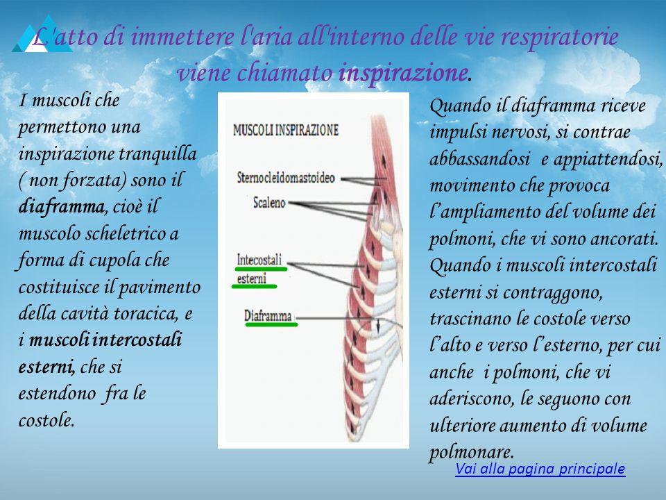 L atto di espellere aria al esterno delle vie respiratorie, chiamato espirazione L'espirazione comincia quando il diaframma e i muscoli intercostali si rilasciano.