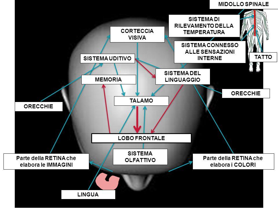 LINGUA CORTECCIA VISIVA Parte della RETINA che elabora le IMMAGINI Parte della RETINA che elabora i COLORI MIDOLLO SPINALE SISTEMA OLFATTIVO ORECCHIE SISTEMA DEL LINGUAGGIO ORECCHIE LOBO FRONTALE TALAMO SISTEMA UDITIVO MEMORIA SISTEMA CONNESSO ALLE SENSAZIONI INTERNE SISTEMA DI RILEVAMENTO DELLA TEMPERATURA TATTO