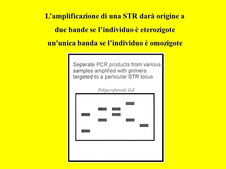 L'amplificazione di una STR darà origine a due bande se l'individuo è eterozigote un'unica banda se l'individuo è omozigote
