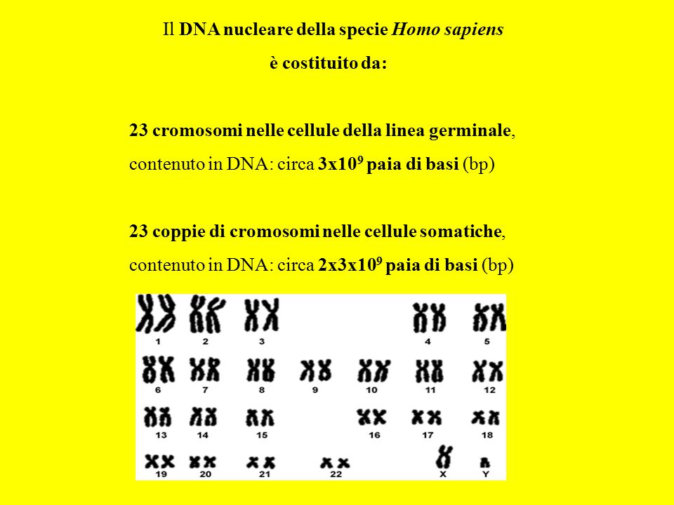 Il DNA nucleare della specie Homo sapiens è costituito da: 23 cromosomi nelle cellule della linea germinale, contenuto in DNA: circa 3x10 9 paia di ba