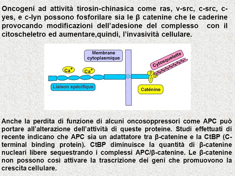 Oncogeni ad attività tirosin-chinasica come ras, v-src, c-src, c- yes, e c-lyn possono fosforilare sia le β catenine che le caderine provocando modifi