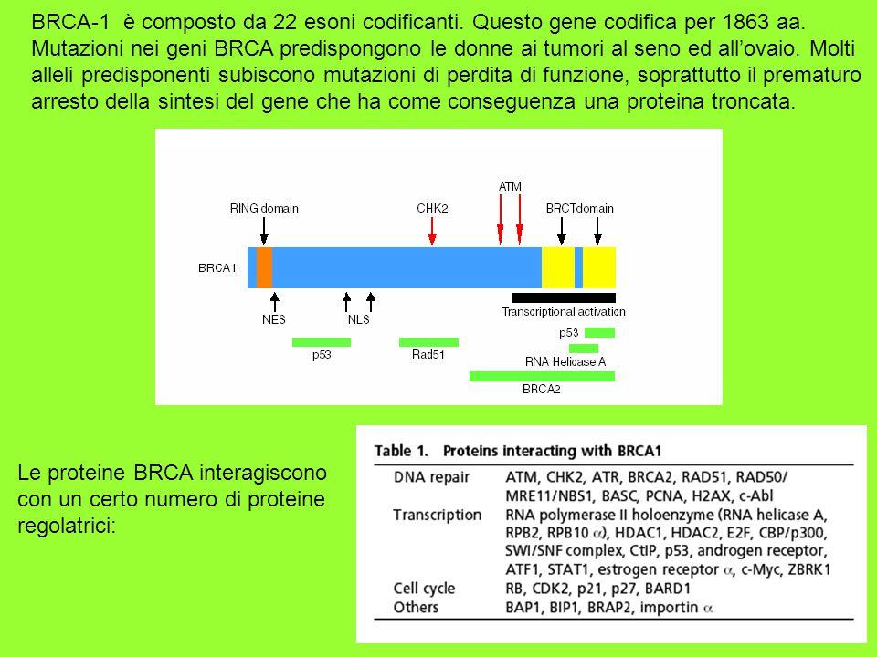 BRCA-1 è composto da 22 esoni codificanti. Questo gene codifica per 1863 aa. Mutazioni nei geni BRCA predispongono le donne ai tumori al seno ed all'o