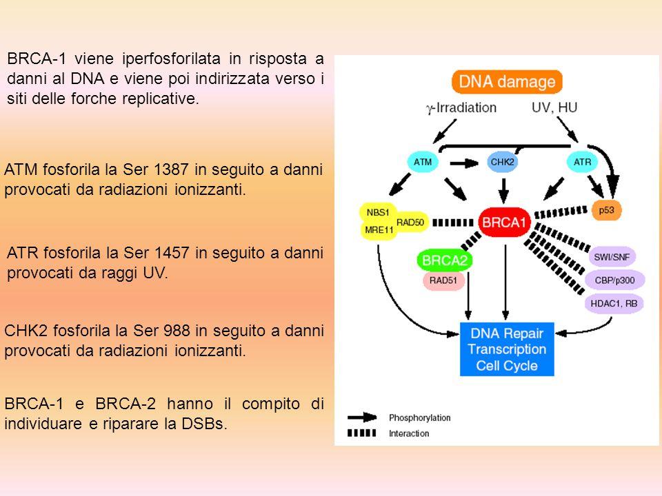 BRCA-1 viene iperfosforilata in risposta a danni al DNA e viene poi indirizzata verso i siti delle forche replicative. ATM fosforila la Ser 1387 in se