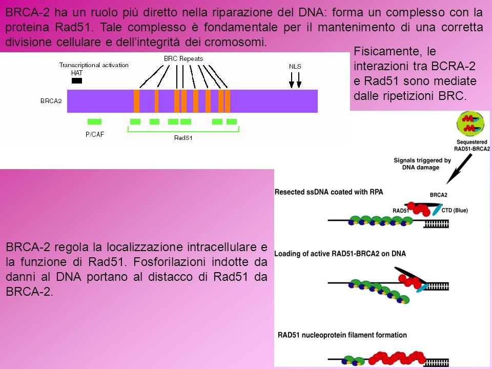 BRCA-2 ha un ruolo più diretto nella riparazione del DNA: forma un complesso con la proteina Rad51. Tale complesso è fondamentale per il mantenimento