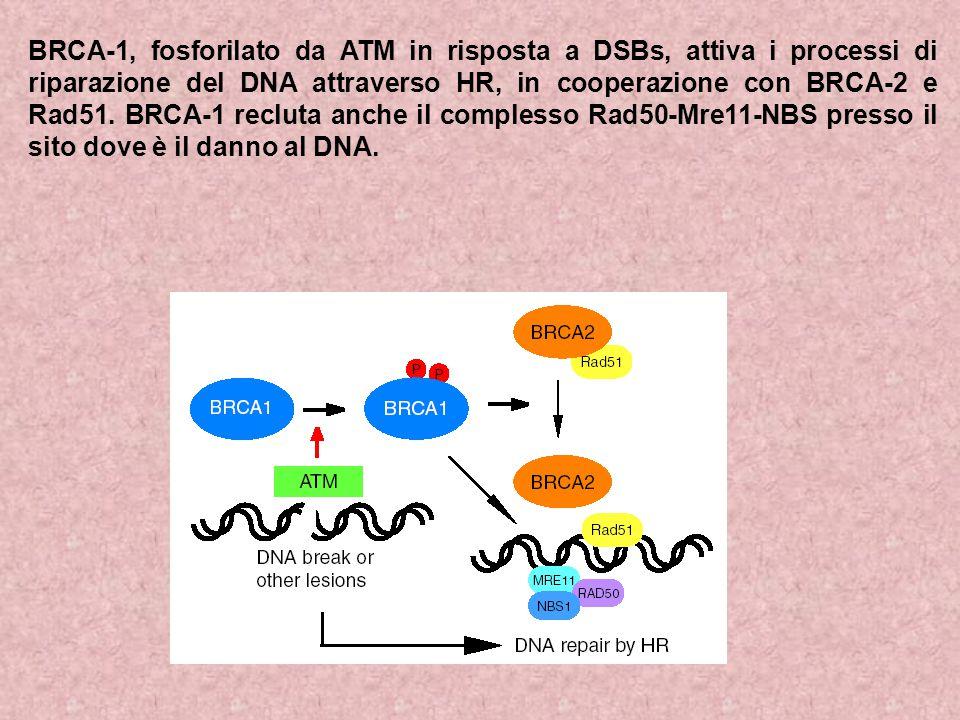 BRCA-1, fosforilato da ATM in risposta a DSBs, attiva i processi di riparazione del DNA attraverso HR, in cooperazione con BRCA-2 e Rad51.