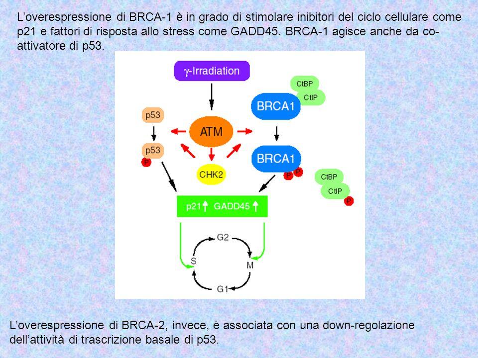 L'overespressione di BRCA-1 è in grado di stimolare inibitori del ciclo cellulare come p21 e fattori di risposta allo stress come GADD45. BRCA-1 agisc